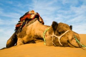 smoking-camel