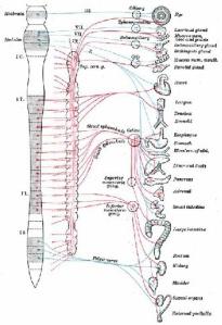 visceral-nerve-chart