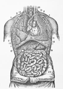 visceral-organs