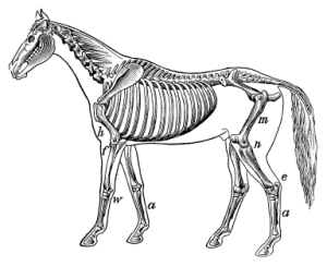 Horse skeleton I Antique Scientific Illustrations