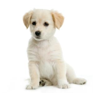 Labrador retriver cream