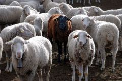 640px-Black_sheep-1 This file is licensed under the Creative Commons Attribution 2.0 Generic - Jesus Solana from Madrid, Spain