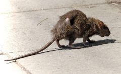800px-Street-rat